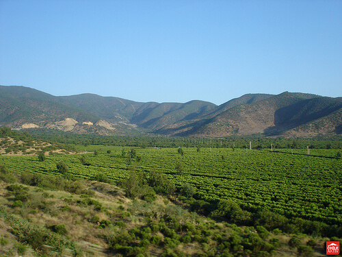 Chilean Vineyard